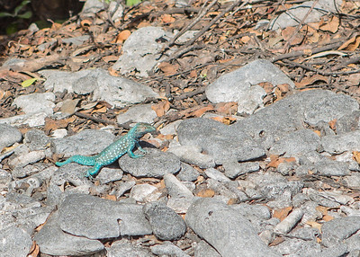 Aruba: blue lizard.