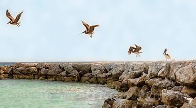 Aruba: pelicans.