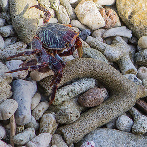 Aruba: sand crab.