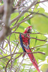 Scarlet Macaws at Punta Leona white sand beach.