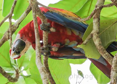 Scarlet Macaws at Punta Leona white sand beach.