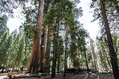 The sequoias--not these particular guys, but some of their cousins in the park--are the largest living organisms on earth.