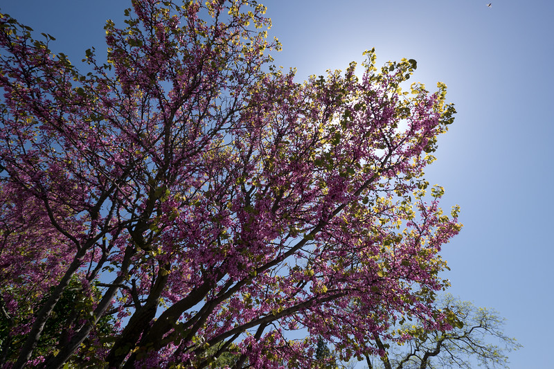Tree with pink leaves - shot @ ISO 160, f/5.6, 1/800 sec, on Panasonic DMC-GH2 w/ LUMIX G VARIO 7-14/F4 lens at 8 mm