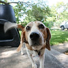 April's beagle Augusta.