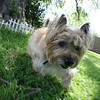 """David's mom's little terrier, Claymore. (If you wikipedia """"claymore"""", it is a type of Scottish sword, or a type of mine bomb; either way, this cute little dog was named after lethal weaponry!)"""