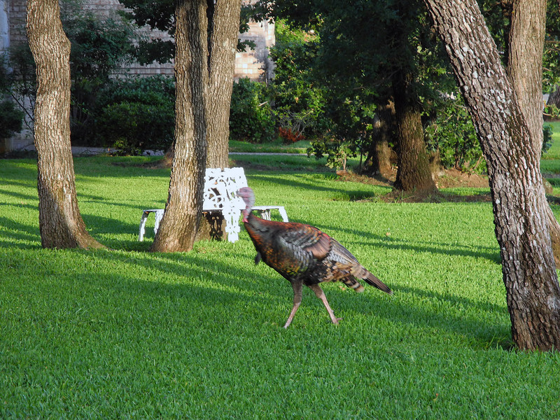 Wild turkeys came to see us off