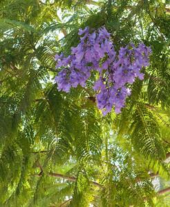 5671 Jacaranda Tree
