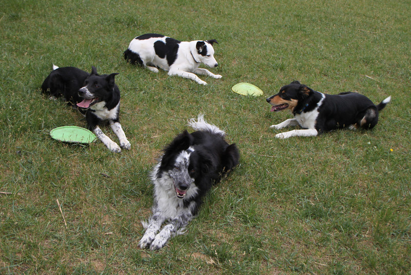 Dog rhombus!  Clockwise, Pippin, Kyzer, Lad, and Rafe.
