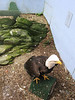 Eagle injured by hunter