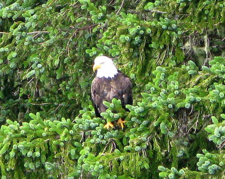 Bald eagle on Mt. Roberts