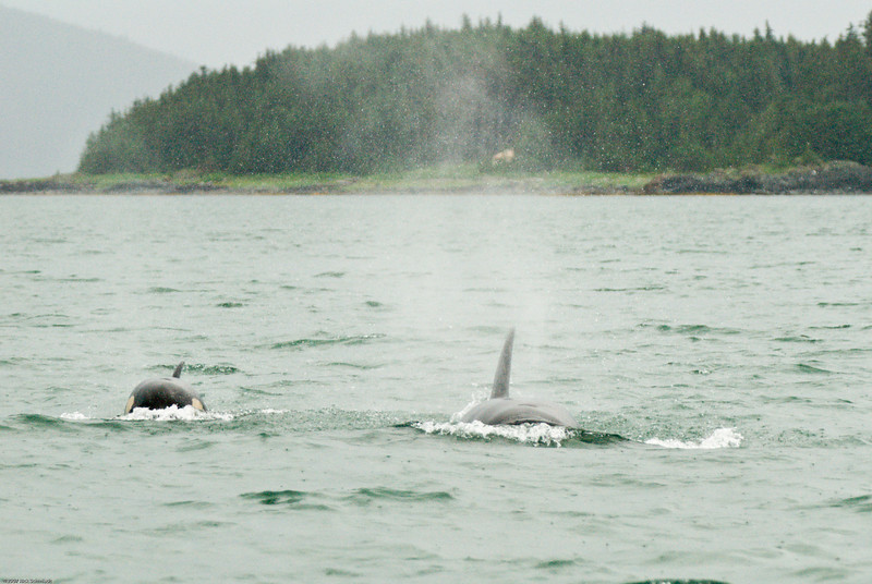 Killer whales catching up to our boat...