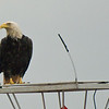 Bald Eagle on bouy near Juneau, AK.
