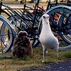 Gooney and fledging chick guarding my bicycle (1998).