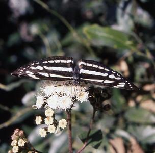 Kathmandu butterfly