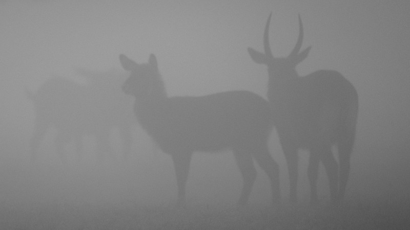WATERBUCK SILHOUETTES IN THE MORNING FOG