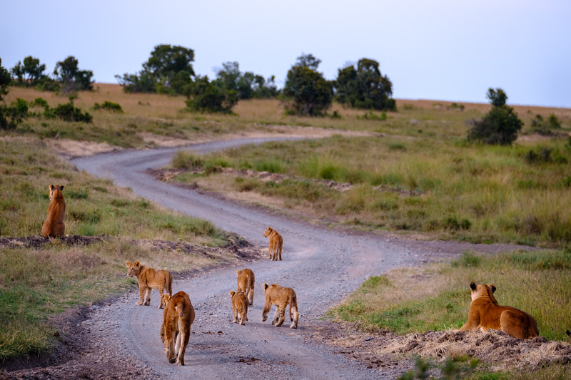 LION PRIDE CONSISTING OF 3 LIONESSES AND 7 CUBS
