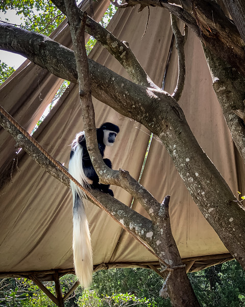 COLOBUS MONKEY LOOKING FOR A QUICK HEIST AND MEAL