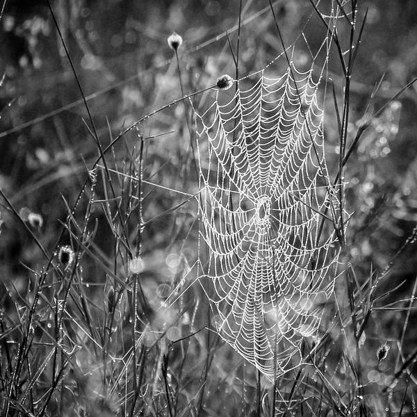 """""""DEWEY SPIDER WEB"""" ON A FOGGY MORNING"""