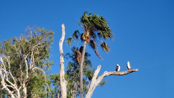 Haliaeetus leucogaster, White-bellied Sea-eagle