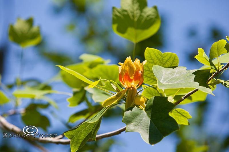 Underside of a Bloom on a Tulip Tree - Kanapaha Botanical Gardens, Gainesville Florida - Photo by Pat Bonish
