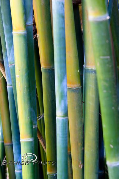 Yellow Bamboo Stalks - Kanapaha Botanical Gardens - Gainesville Florida - Photo by Pat Bonish