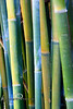 Yellow Bamboo Stalks - Kanapaha Botanical Gardens - Gainesville Florida - Photo by Pat Bonish