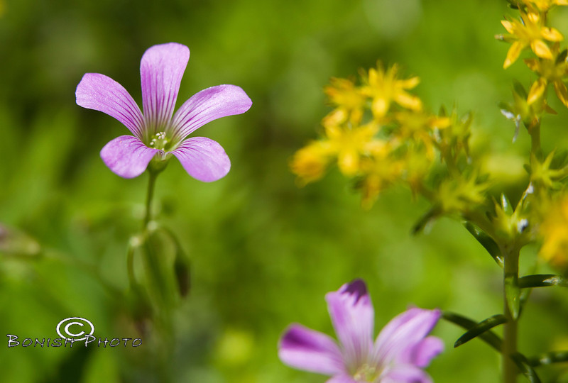 Purple & Yellow Blooms in the Kanapaha Botanical Gardens - Gainesville Florida - Photo by Pat Bonish