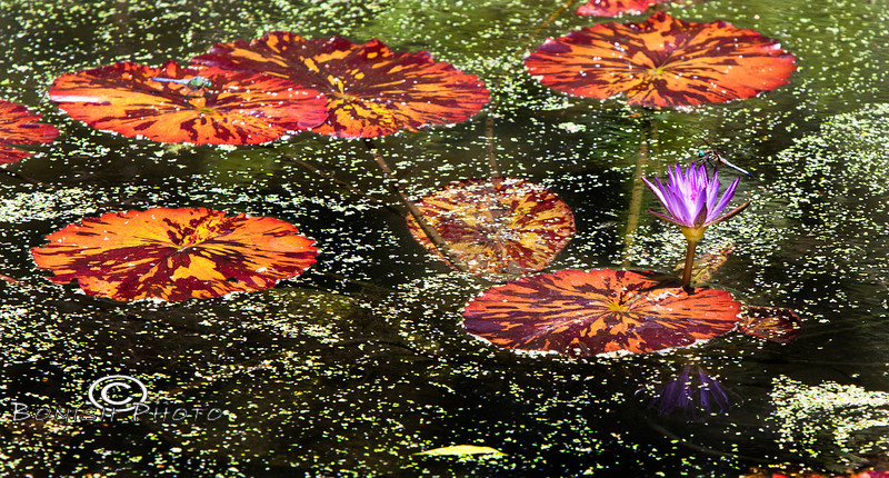 Blooms in the Ponds - Kanapaha Botanical Gardens Gainesville Florida - Photo by Pat Bonish