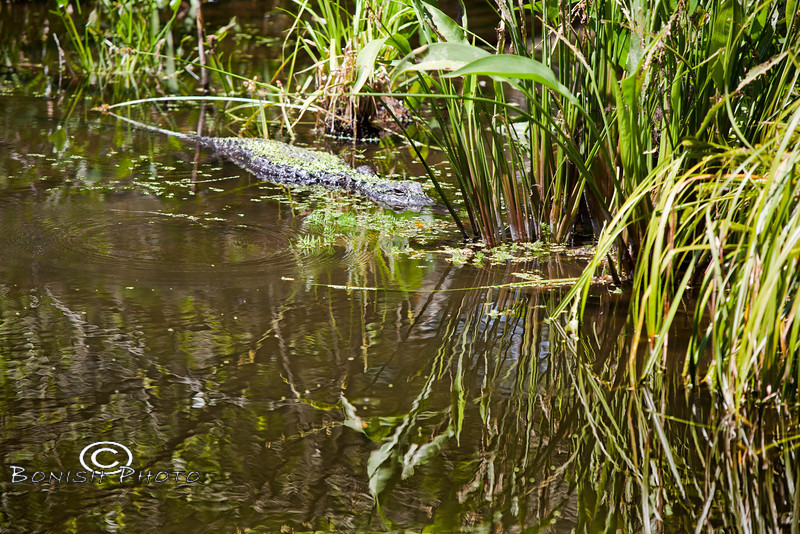 Alligator sitting in one of the ponds in the Kanapaha Botanical Gardens, Gainesville Florida - Photo by Pat Bonish