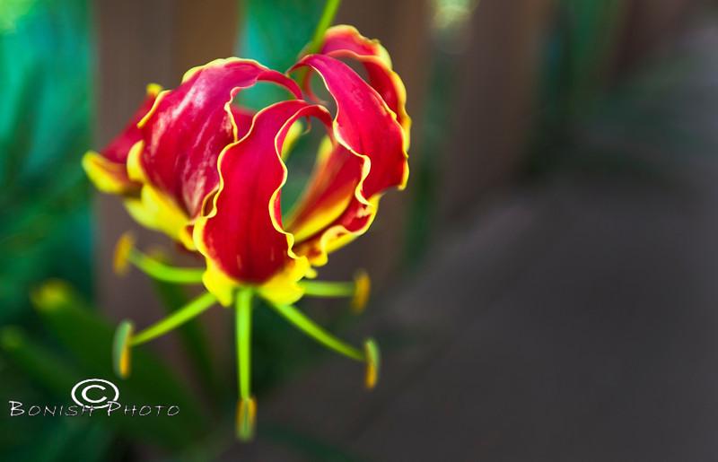 Gloriosa Climbing Lily Bloom - Kanapaha Botanical Gardens - Gainesville Florida - Photo by Cindy Bonish