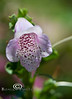Foxglove Bloom - Kanapaha Botanical Gardens, Gainesville Florida - Photo by Pat Bonish