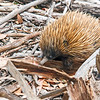 An Echidna. Flinders Chase National Park