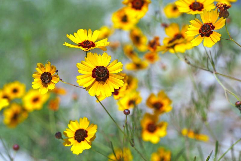 Small yellow flowers along the Arkansas River, Wichita, Kansas.