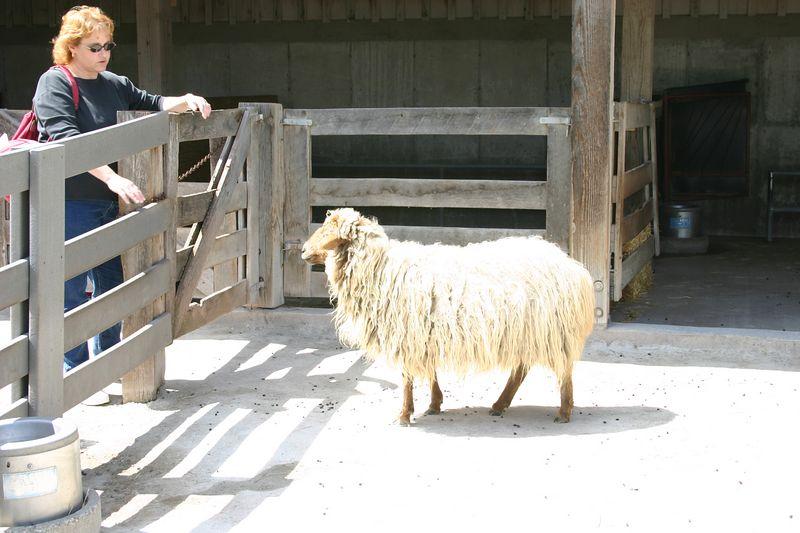 Lisa talking to a sheep.