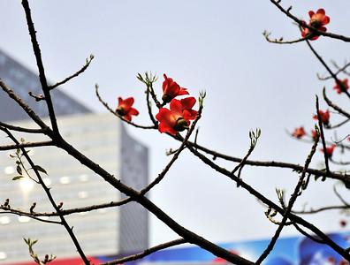 Kapok City flower of Guangzhou