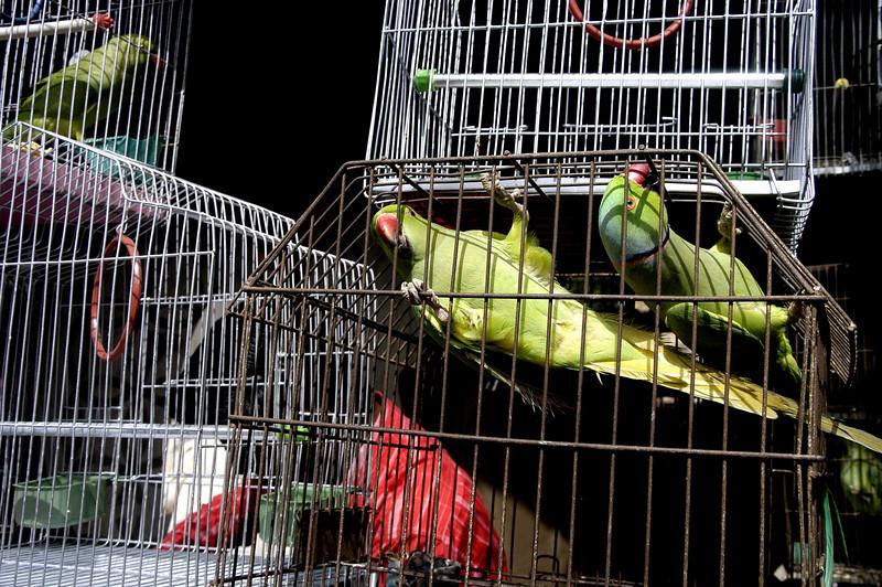 Exotic Birds at the market, Karachi, Pakistan<br /> scenes of daily life in markets and bazaars in Karachi<br /> (Credit Image: © Chris Kralik/KEYSTONE Press)