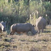 The rhino on the left is too young to have been dehorned. The middle one has been, as evidenced by the nub of horn. This nub allows the horn to regrow.