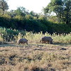 Rhinos feeding after dawn