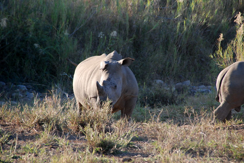 Young rhino feeding in morning.