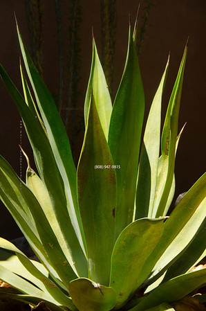 Agave maybe 5712