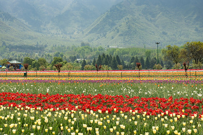 Tulip Garden, Srinagar, Jammu and Kashmir, India. Asia's Largest, with 20 lakh tulips of 46 varieties spread over 30 hectares in the foothills of the snow-clad Zabarwan range.
