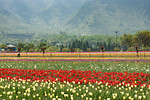 Tulip Garden, Srinagar, Jammu and Kashmir, India. Asia?s Largest, with 20 lakh tulips of 46 varieties spread over 30 hectares in the foothills of the snow-clad Zabarwan range.