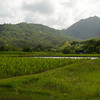 taro fields at Hanalei