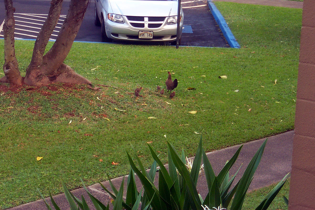 A hen with a bunch of chicks. This is at the condo. We also saw a lot of chickens off the highway getting here. The island has wild chickens all over the place.