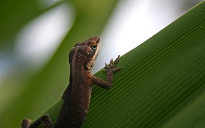 IMG_2881 - Kauai Lizard