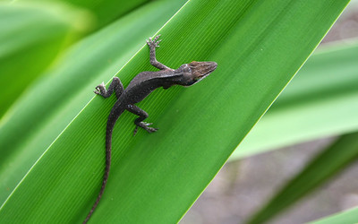 IMG_2876 - Kauai Lizard