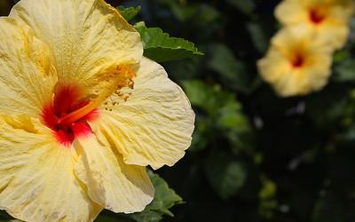 IMG_4464 - Kauai Flower