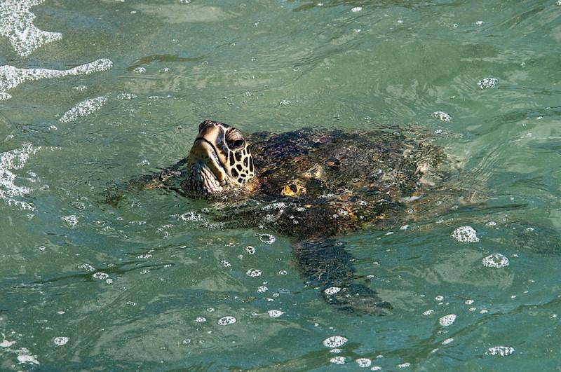 Turtle off the bluff near our condo