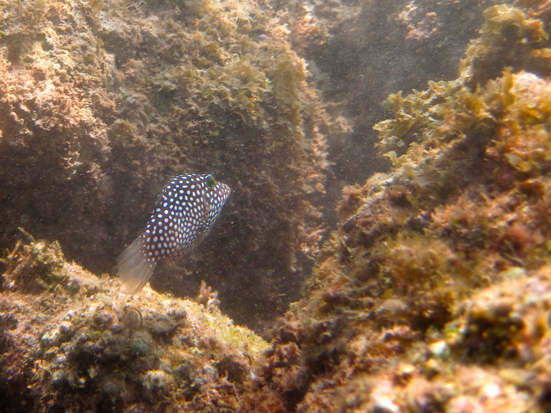 Puffer fish at Anini