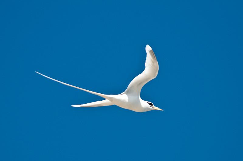 White-tailed Tropic Bird